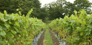 Carden Park vineyard