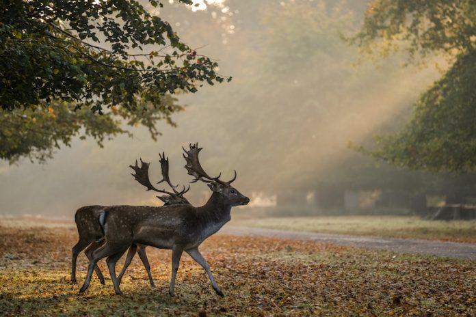 The fallow deer at Dunham Massey ©National Trust Dave Jones